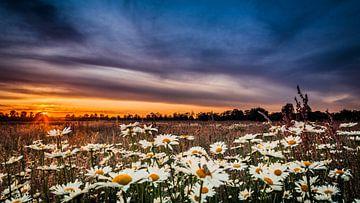 wilde margrieten bij zonsondergang van Arnoud van der Aart