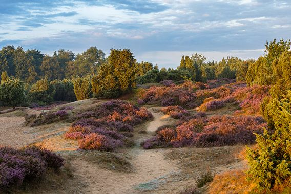 Heidegebied Mantingerzand van Hans Jansen - Lynxs Photography
