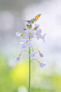 Vlinder (oranjetipje) met gespreide vleugels.