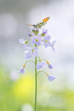Vlinder (oranjetipje) met gespreide vleugels. van Francis Dost