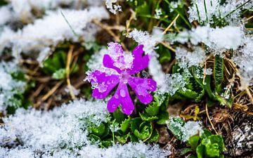 Bloemetje in de verse sneeuw van Stijn Cleynhens