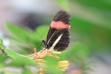 Kleurrijke foto van een vlinder op een vlinderstruik van Kim de Been