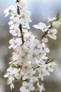 Zwetschgenblüten van zwergl 0611