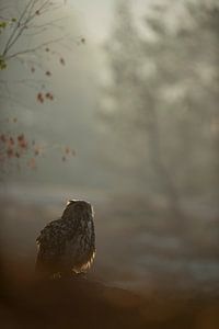 Northern Eagle Owl (Bubo bubo) sitting on some rocks, early morning, hazy backlit situation, at dawn
