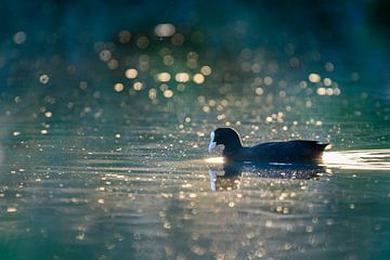 Blässhuhn (Fulica atra) schwimmt in goldenem Licht von Richard Guijt Photography