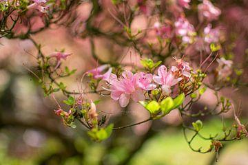 Blossoms sur Beau Aimée Mols