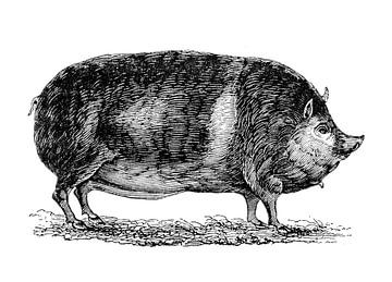 Schwein von 1871 von Peter Hermus