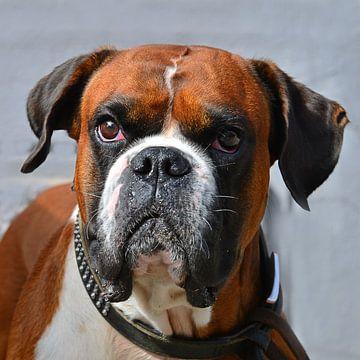 Boxer hond van Ingo Laue