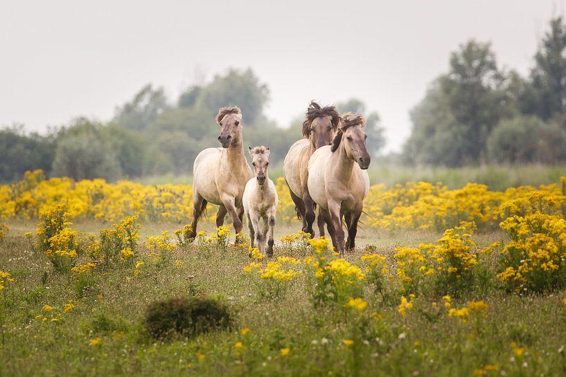 vier konikpaarden van Pim Leijen