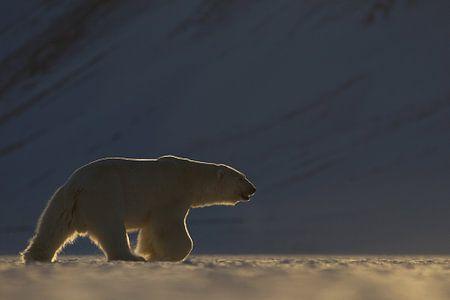 IJsbeer in weids ijslandschap