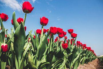Des tulipes rouges dans un champ de bulbes sur un ciel bleu sur Expeditie Aardbol