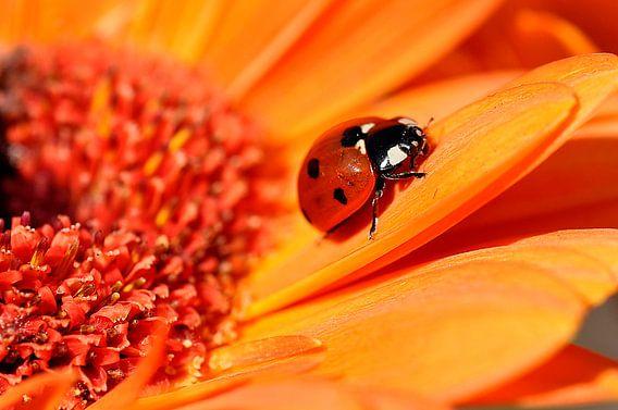 Lieveheersbeestje op een zonnehoedje