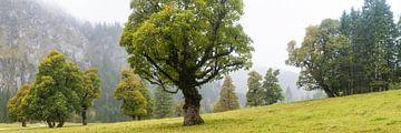 Ahornbäume