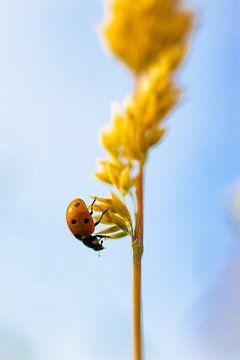 Lieveheersbeestje van Nynke Altenburg