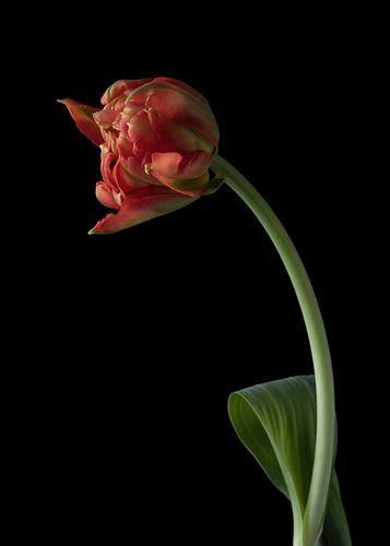 Tulp op zwart