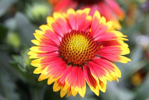 The Yellow/Red Flower van Cornelis (Cees) Cornelissen