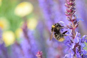 hommel is honing aan het verzamelen op lavendel van Jos Broersen