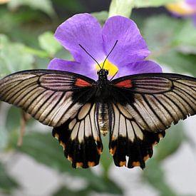 Tropische vlinder op een bloem van W J Kok