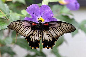 Tropischer Schmetterling auf einer Blume von W J Kok