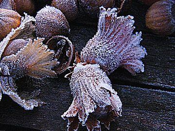 Winter met rijp op hazelnoten. Hazelnuts with ice cristals. van