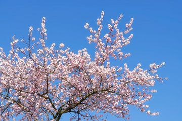 Mandelblüte im Frühling von Peter Eckert