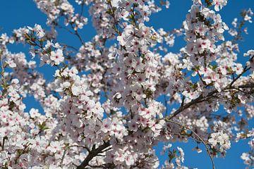 Voorjaar japanse roze bloesem en een strak blauwe lucht van JM de Jong-Jansen