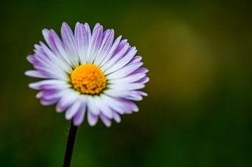 Concept flora : Daisy love von Michael Nägele