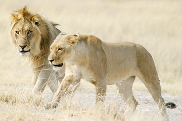 Zwei Löwen in der afrikanischen Savanne von Melissa Peltenburg