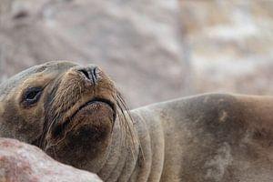 zeehond, seal, peru