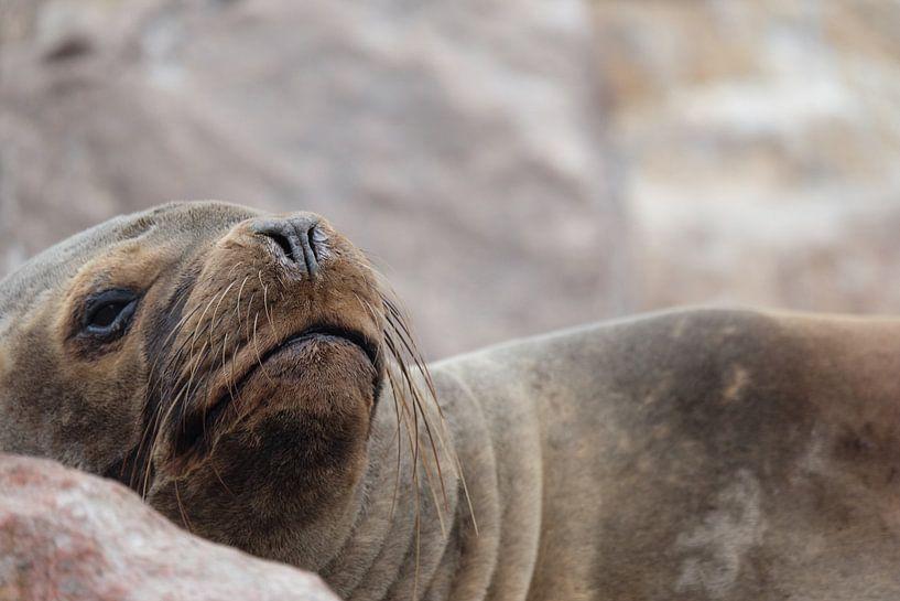 zeehond, seal, peru von Marlou van Hal