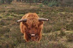 Schotse Hooglander von NanKee Fotografie