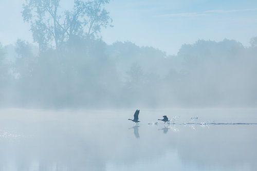 Ganzen stijgen op boven de Drentsche Aa op een mooie nazomer ochtend. Er hangt een mooie mist boven
