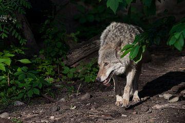 Un puissant loup (la louve) sort du fourré de la forêt la tête en bas, comme pour traquer une proie  sur Michael Semenov