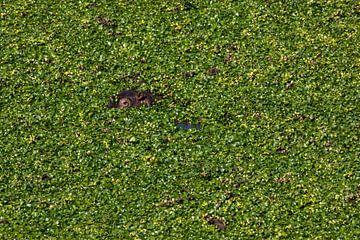 Caché dans l'hippopotame vert sur Sharing Wildlife