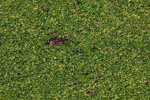 In het groen verscholen nijlpaard
