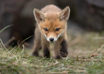 Jonge vos komt naar je toe