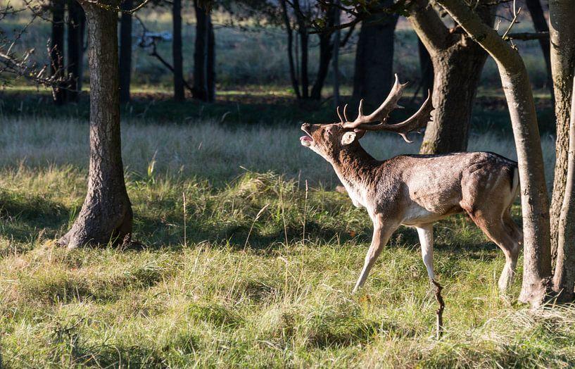 belling fallow deer in nature von Compuinfoto .