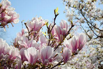 Roze bloesemtak op zonnige dag van Evelien Doosje