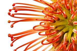 Protea op wit van Joop Snijder