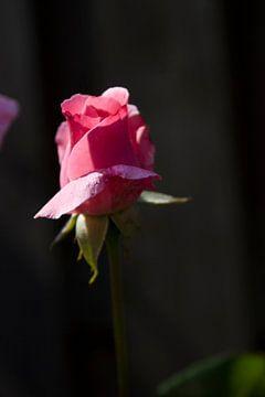 rose bud van