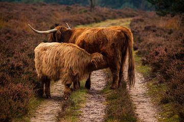Schotse Hooglanders van Tim Abeln