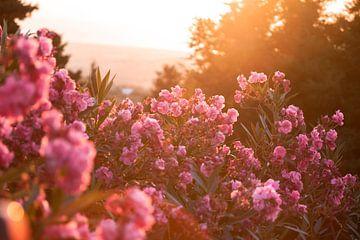 Bloeiende Oleanders in het zonlicht van Sharon de Groot