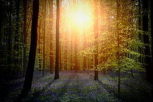 Zon door het bos van
