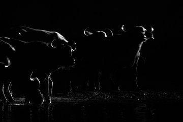Nachtaktive Büffel von Anja Brouwer Fotografie