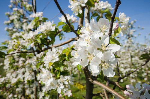 Witte appelbloesems in bomgaard
