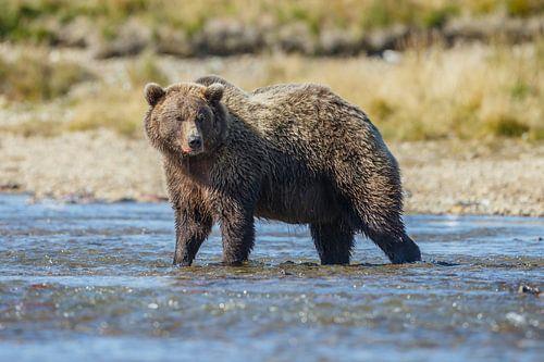 Een grote grizzly beer van