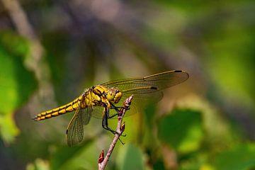 Schöne Libelle in Meijendel von Merijn Loch