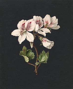 Pelargonium album bicolor, M. de Gijselaar
