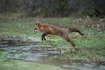 jumping... Red Fox *Vulpes vulpes* sur