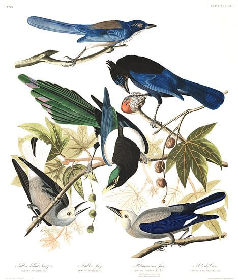 Geelsnavelekster van Birds of America